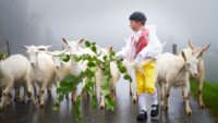 Appenzell Geissbug mit Ziegen Geissen Alpabfahrt Seealpsee